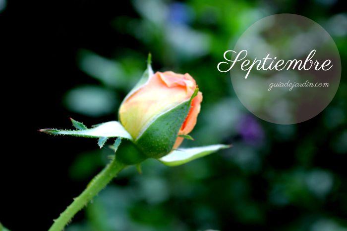 rosas en septiembre