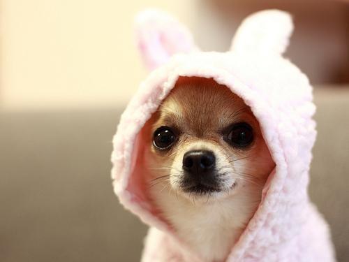 Chihuahua Costume - Chihuahua Clothes