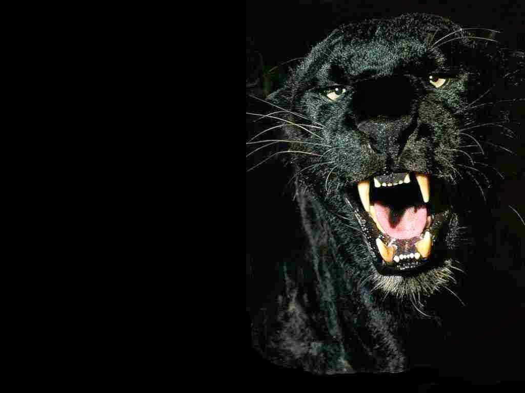 Angry black jaguar - photo#4