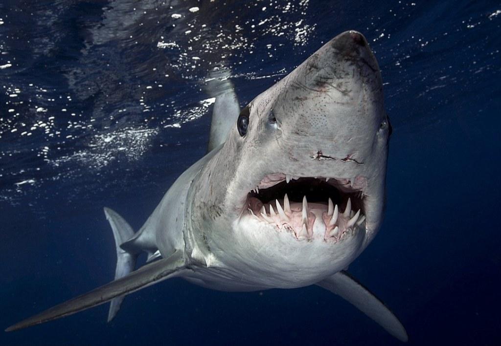Shortfin mako shark (I...