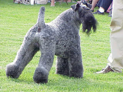 Irish Blue Terrier