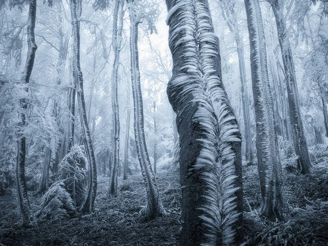 During The Cold Winter, This Magical Frost Covered Majestic Trees In A Forest