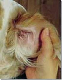 Hình 4: Kiểm tra tai cho chó.