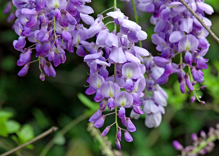Wisteria Blossoms on The Natchez Trace