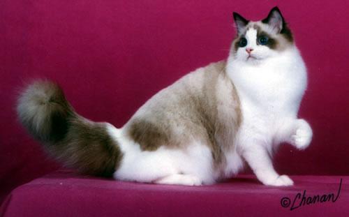 Wildan Blog Jenis Jenis Kucing