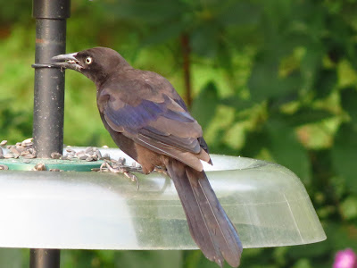 grackle on tray