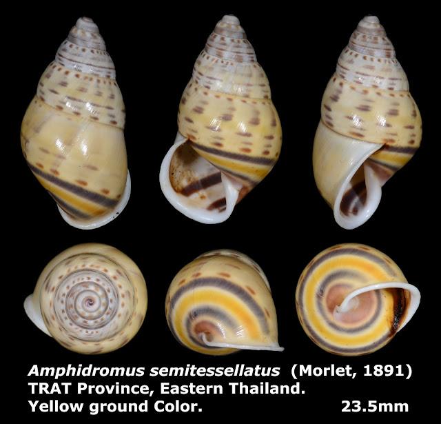 Amphidromus semitessellatus 23.5mm