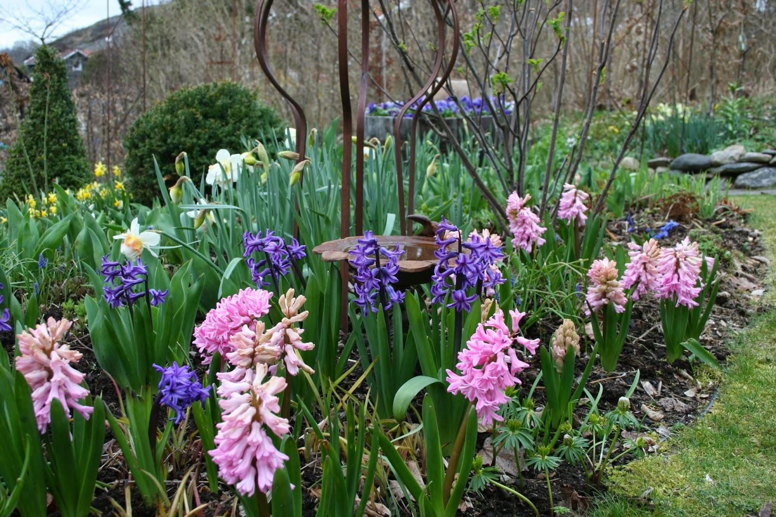 hyacinter i trädgården