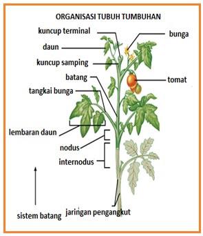 Biologi gonzaga sebagian besar tunas ketiaktidak aktif tetapi memiliki potensi untuk berkembang menjadi organ vegetatif mendukung daunbercabang menghasilkan bunga dan ccuart Choice Image