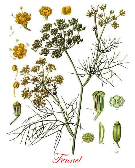 Fennel vision – 10/15/11