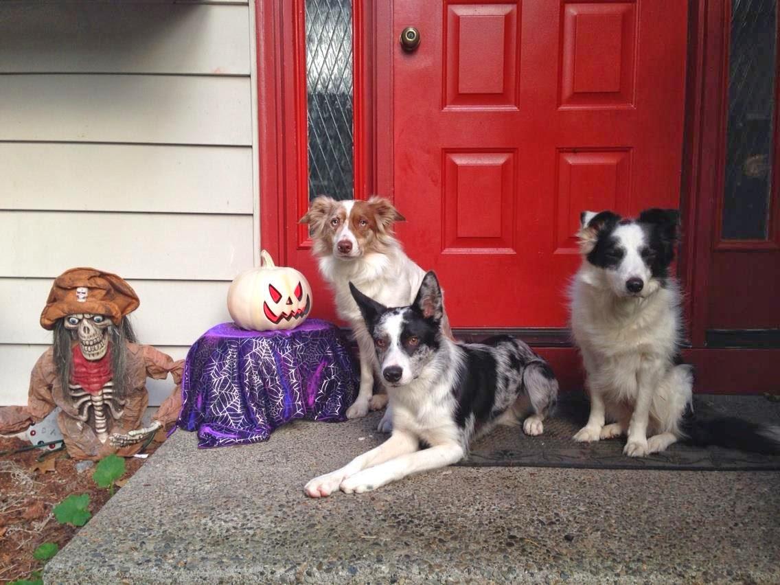 Wa Rescue Dogs Border Collies
