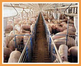 Một trại chăn nuôi heo công nghiệp.
