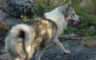 Canadian Eskimo Dogs