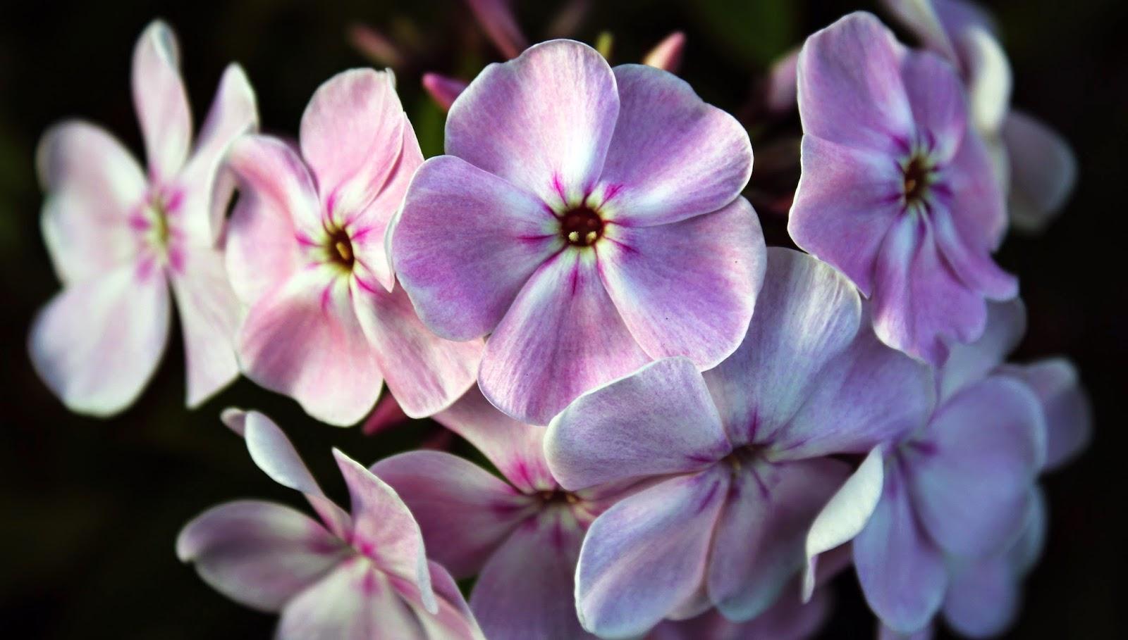 садовые цветы. сибирь