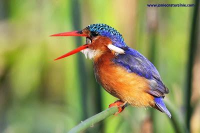 Martín pescador malaquita Alcedo Corythornis cristata
