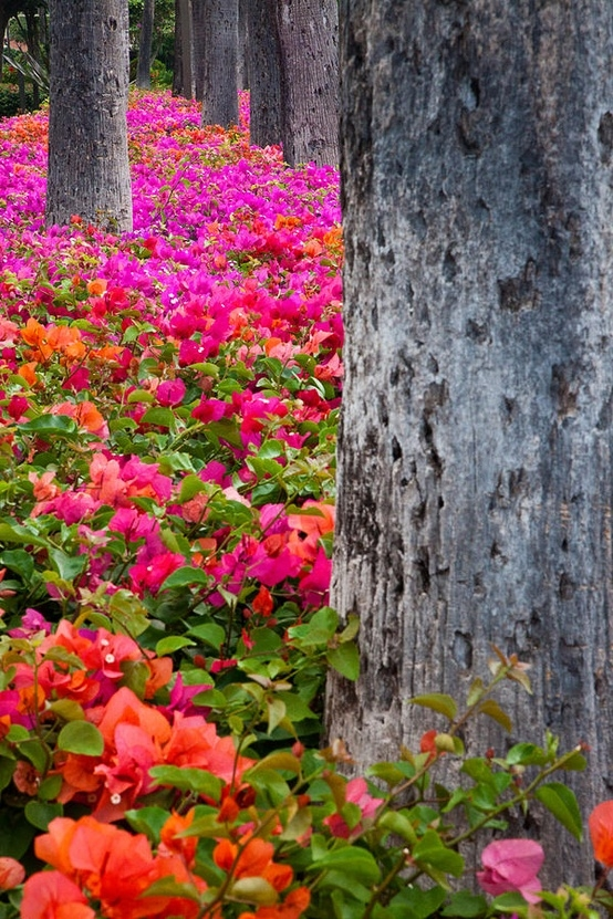 Bougainvillea Forest, Maui, Hawaii: