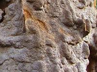 Phellinus ferruginosus