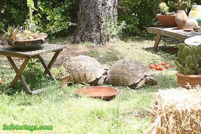 Tortugas pardalis somalica