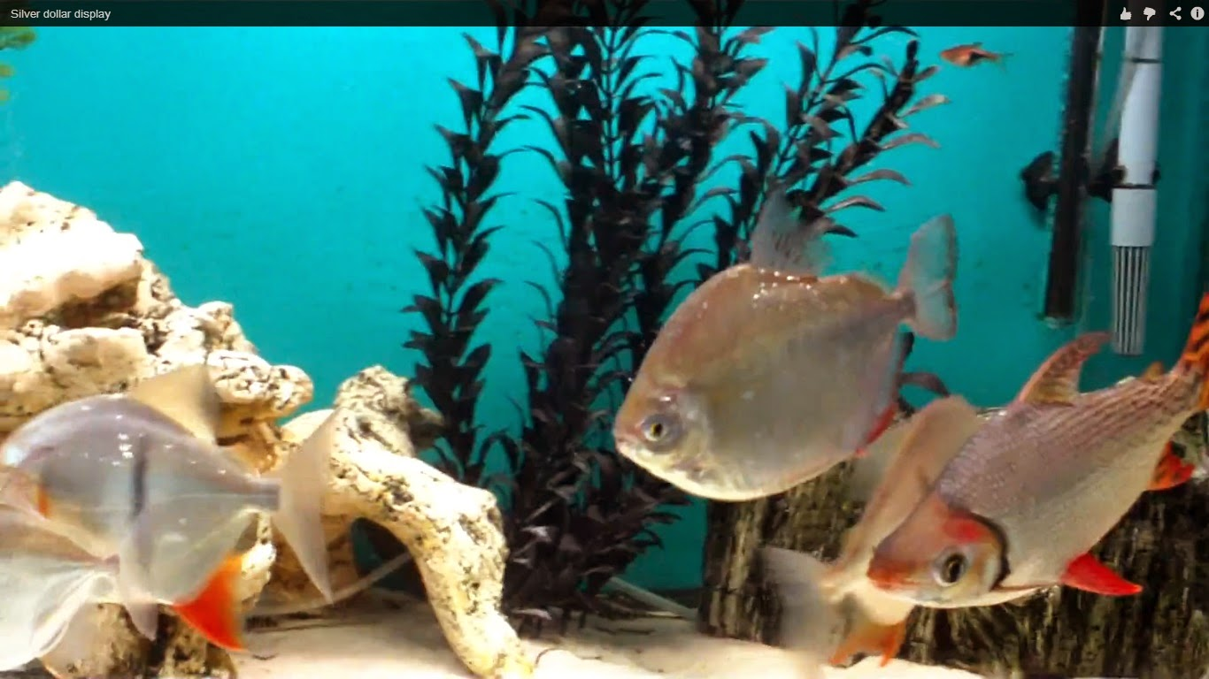 How to Care for Silver Dollar Fish How to Care for Silver Dollar Fish new images
