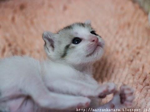横耳のかわいい子猫の画像 <親ばか