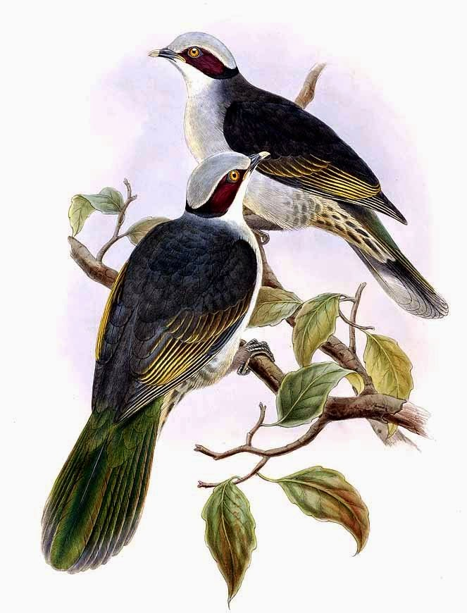 Red eared fruit dove