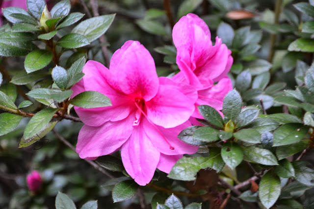 Encore Azalea, http://growingdays.blogspot.com