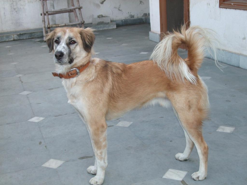 Indian Dog Breeds - Dog Breeds