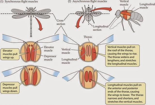 Ciencias de Joseleg: El vuelo en los insectos, fisiología