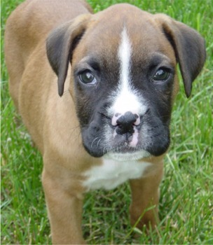 Boxer Dog: Mini Boxer Puppies