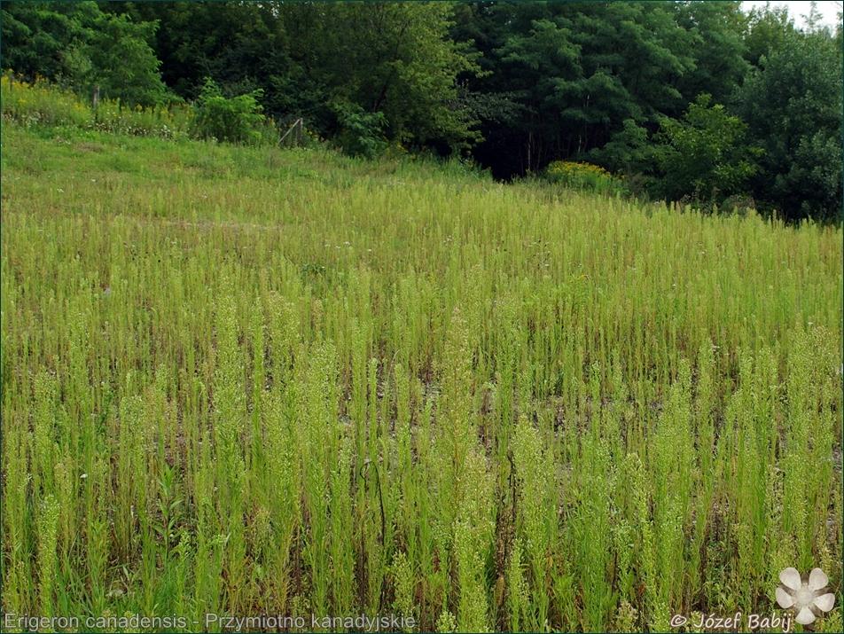 Erigeron canadensis habitat - Przymiotno kanadyjskie