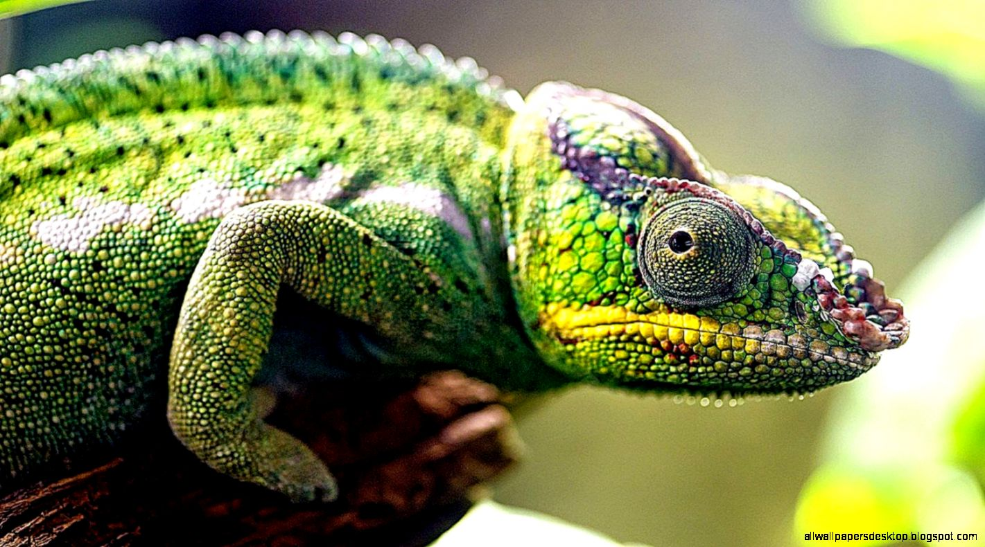 Chameleon Close Up Lizard Hd Wallpaper  Free HD Wallpapers