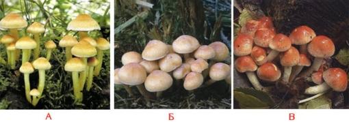 грибы ложные как отличить фото