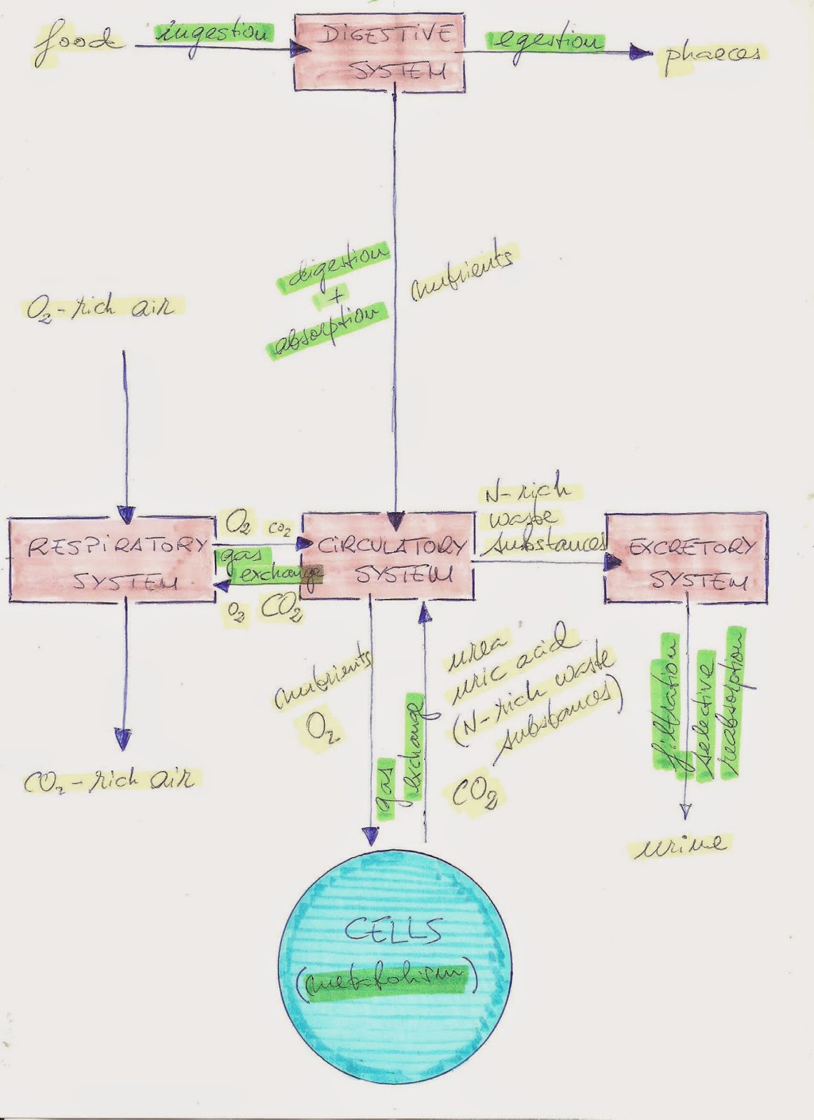 Digestive System Javi Ciencias British