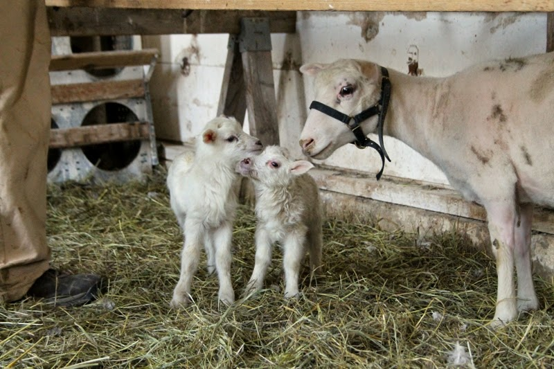 Finn with her twins - male lamb and 'lil Liza Jane