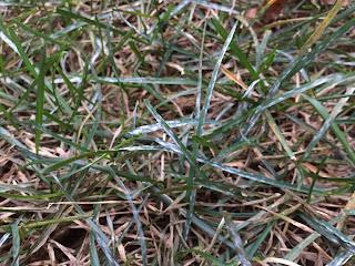 white grass blades