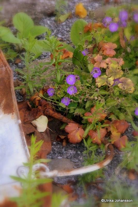 Rost, växter