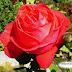 زوج من كازاخستان يصالح زوجته بمليون وردة فى يوم المرأة العالمى!