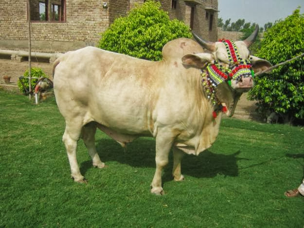 Bakra Eid Cow Qurbani Wallpapers Free Download