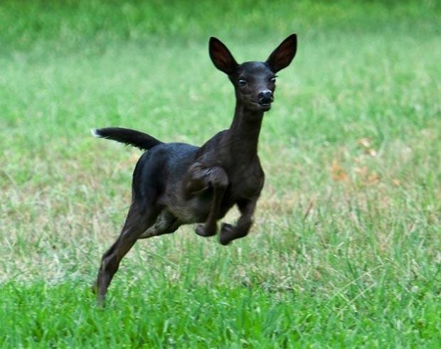 بالأسود أحلى حيوانات سوداء ولكنها جميلة melanistic-black-Dee