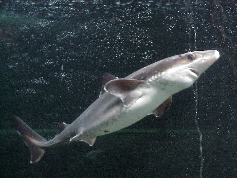 shark and spiny dogfish Spiny dogfish: the spiny dogfishes of the family squalidae possess a sharp spine in front of each of their two dorsal fins the most widely known species is squalus.