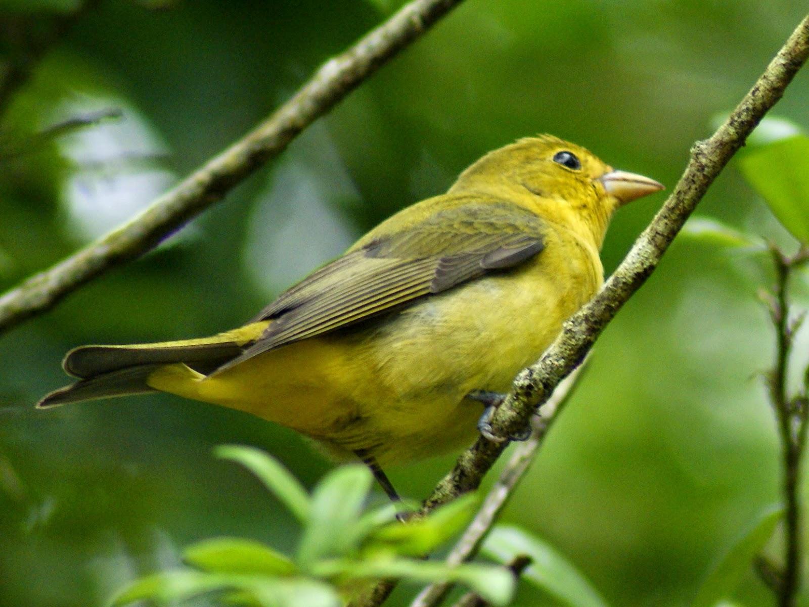 texas bird Green breasted