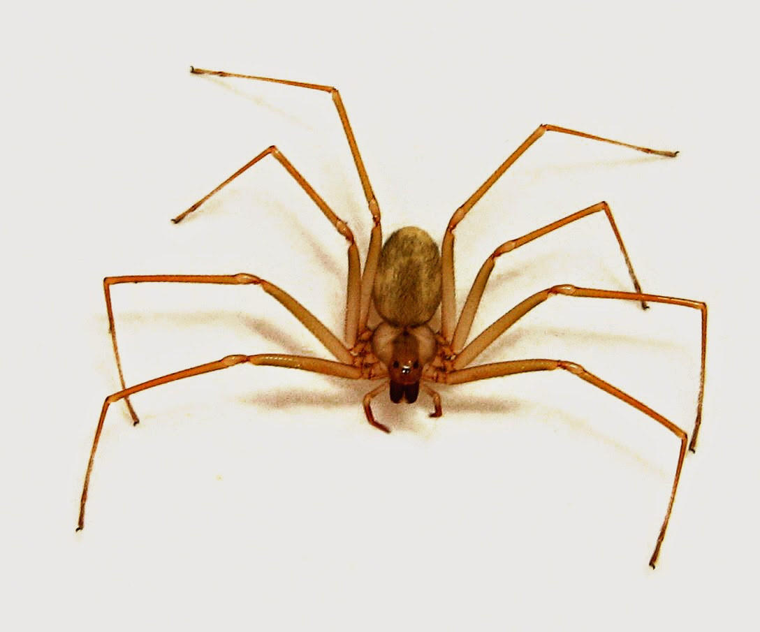 LA CIENCIA DE LA VIDA: La araña reclusa