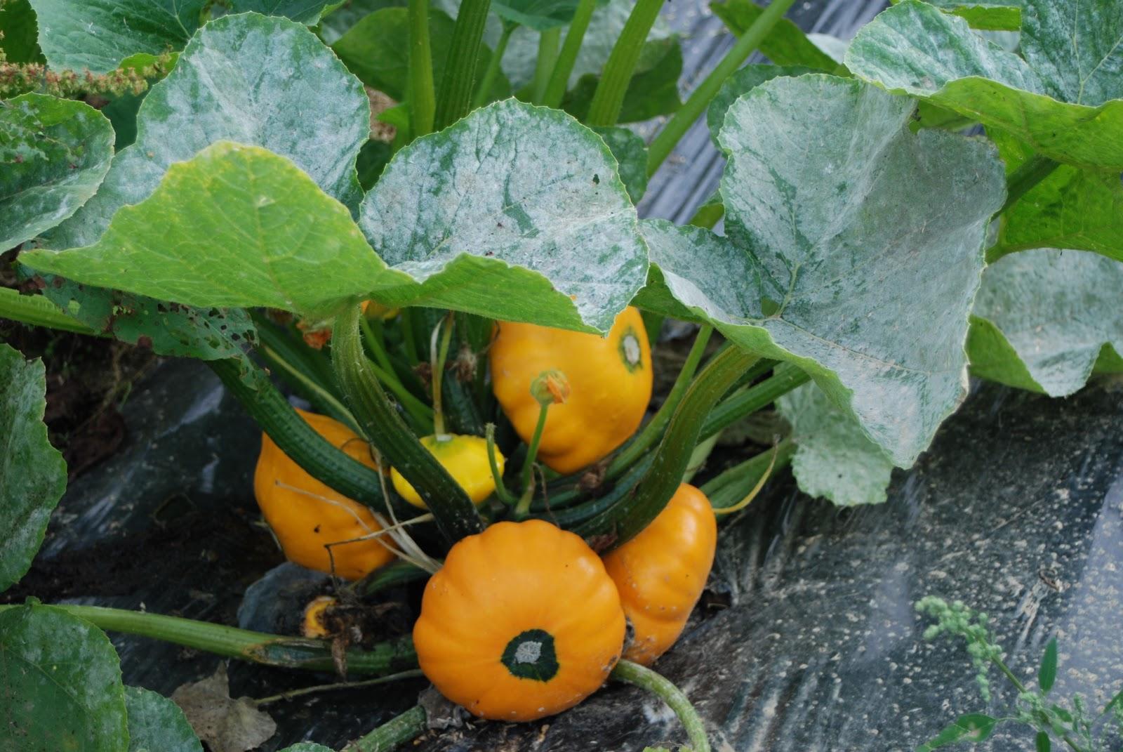 Les jardins de priape - Repiquer de la mache ...
