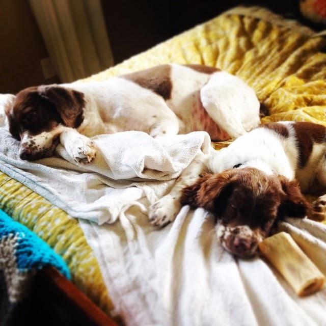 English Springer Spaniel, dog, love, pets, sweet, Mae, adventure, brave