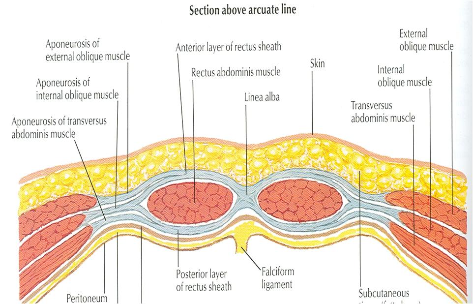 arcuate-line-cadaver