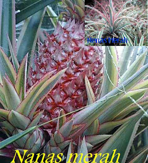 nanas merah
