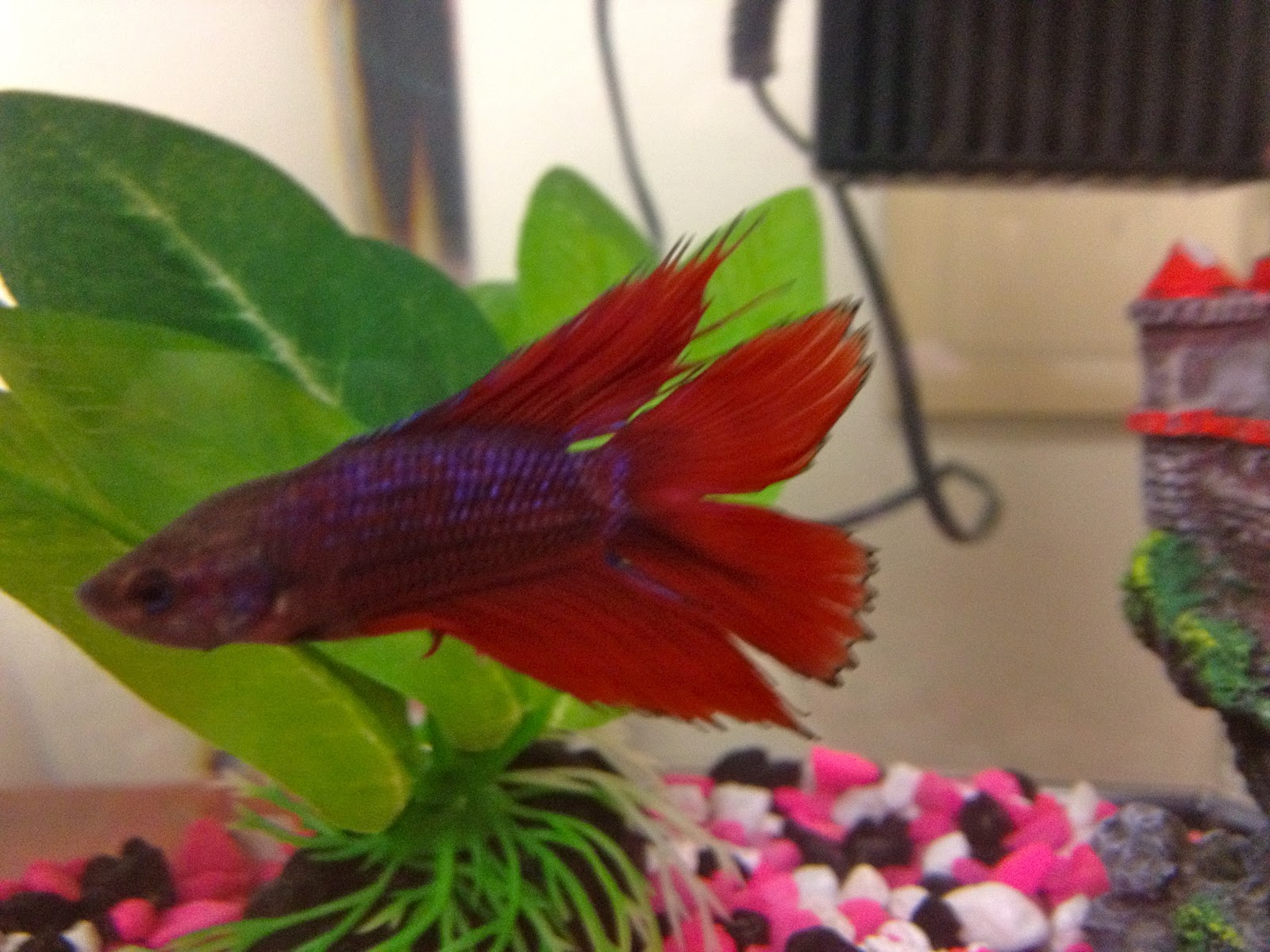 Worrywart Tales: Betta Fish & Stress