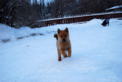 Finnish Spitz Puppy Pictures