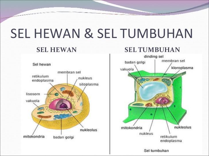 Organel Sel Hewan beserta Fungsinya - Definisi Pengertian ...