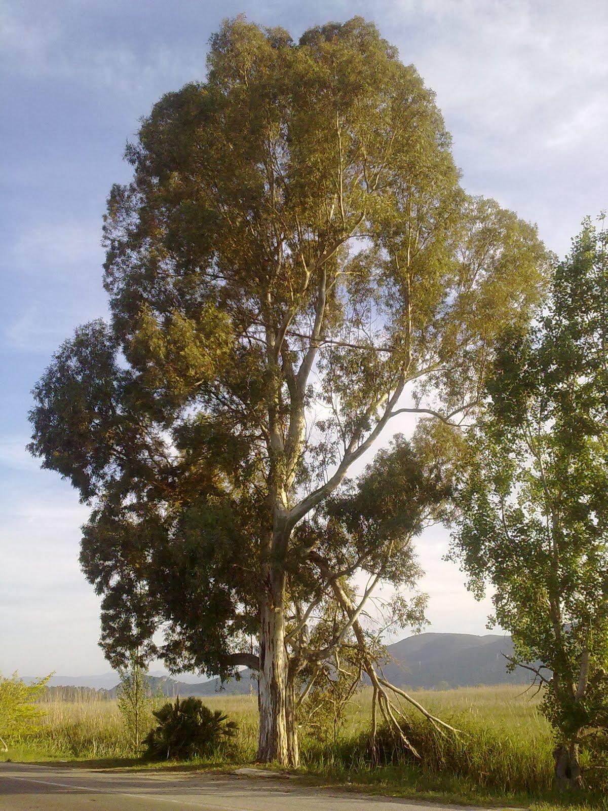 Eucaliptus marjal de Xeresa